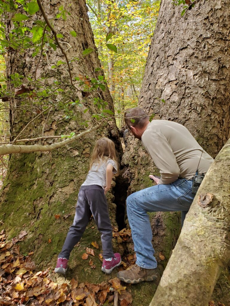 Elise and Eric look at the crack in the middle of two very large Tulip Poplar trees.
